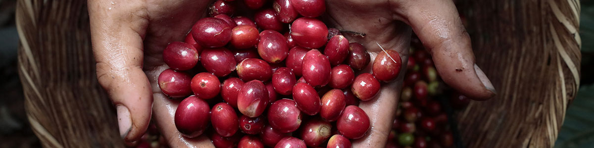 coffee cherry - sustainability